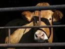Nedovolme v civilizované Evropě zavádět krutou rituální porážku halal, na níž čeká tato nebohá kráva