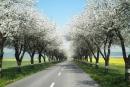 Aleje kolem silnic jsou nádhernou ozdobou krajiny